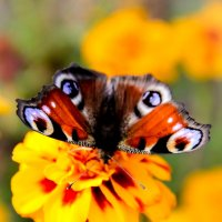 Бабочка :: Оля Пронько