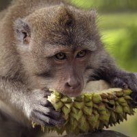 Макак-крабоед на дуриановой диете :: natalia paklina