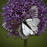 Бабочка Боярышница :: Сергей Конаков