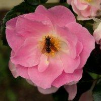 Пчелиная работа :: Александр Жабров