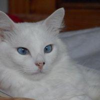кот снежок :: Наталия Шляхтова