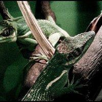 lizards :: hijsi sevole