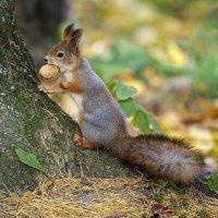 Белки, жёлуди, орехи... :: Милана Гресь