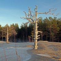 Северодвинск. Сосновый бор на дюнах :: Владимир Шибинский