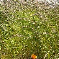 Маки (Eschscholcia californica) :: Petr Popov