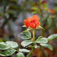 Роза красная Осень :: Александр Деревяшкин