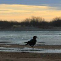 Ворона на берегу реки :: Аркадий Тейбеш
