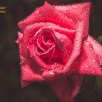 Роза :: Серега Иванов