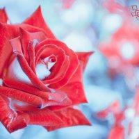 Ледяная роза :: Серега Иванов