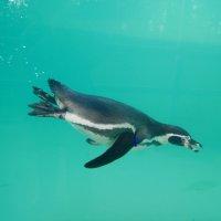 Пингвин под водой :: Natalia Harries