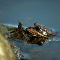 подводная лодка-лягушка :: Ирина Кулагина
