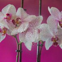 Орхидея в ламинате. :: Милена )))