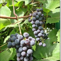 Поспел виноград :: Лидия (naum.lidiya)