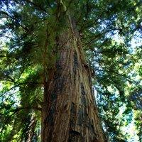 Sequoia :: Lika Shakhmatova
