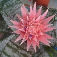И вот она взошла - розовая звезда эхмеи!.. :: Нина Корешкова
