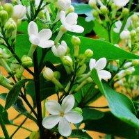 Весна пришла, сирень цветёт ! :: Валентина Пирогова