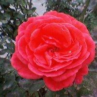 Алая роза :: Миша Любчик