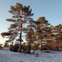 Северодвинск. Сосны :: Владимир Шибинский