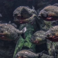 Piranhas :: Lasc1vo Артёмин