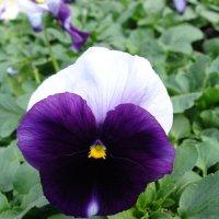 "Viola x wittrockiana ""Delta Beaconsfield "" :: laana laadas"