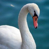 Лебедь :: Lika Shakhmatova