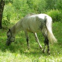 Белая лошадь :: Святец Вячеслав