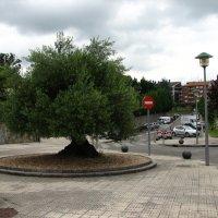 Оливковое дерево. :: Olga Grushko