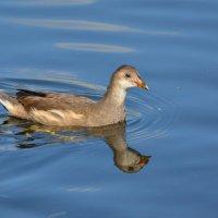 молодая камышница :: linnud