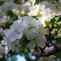 Яблони в цвету :: Сергей Бабаков