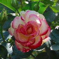 Сияет бархат розы....... :: Маргарита ( Марта ) Дрожжина