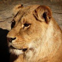 И львицы в неволе тоже   плачут... :: Владимир Бровко