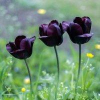 Черные тюльпаны :: erdny stoyanov