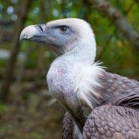 Ялтинский зоопарк, сип белоголовый :: Иван Дмитриев