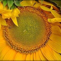 Подсолнух с золотистыми ресницами :: Нина Корешкова