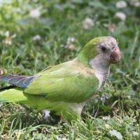 Зелёные какаду Барселоны :: Таня Фиалка