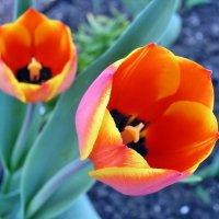 Тюльпаны :: Александр Резуненко