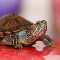 Красноухая черепаха :: андрей мазиков