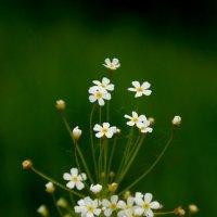 Полевые цветы :: Юлия