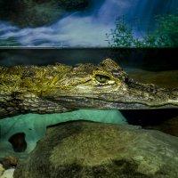 Крокодильчик :: Антонина Шевчук