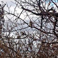 воробьи на дереве :: Татьяна Королёва
