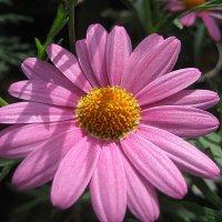 Argyranthemum :: laana laadas
