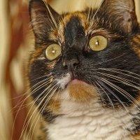 Кошка Лиля :: Юрий Глушков