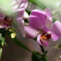 орхидея... :: Ольга Cоломатина