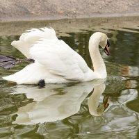 Лебедь белая :: Татьяна Беляева