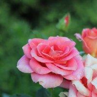 Розовые розы не Светки Соколовой :: Сергей Чугунов