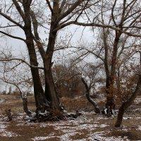Суровые деревья :: Dr. Olver  ( ОлегЪ )