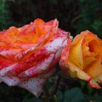 Два возраста розы. :: Антонина Гугаева