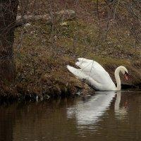 А белый лебедь на пруду... :: Галина Кучерина