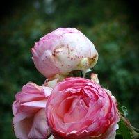 Осенние розы :: Наталия Короткова