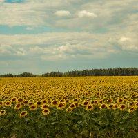 поле подсолнухов :: Ирина Кулагина